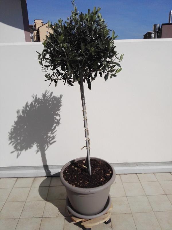 terrazzo-piante-aromatiche-ulivo