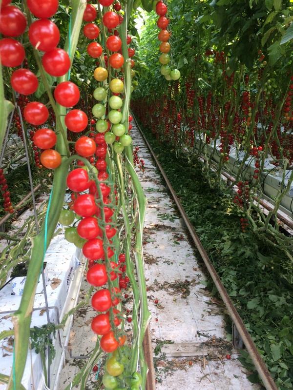 pomodori-castellanina